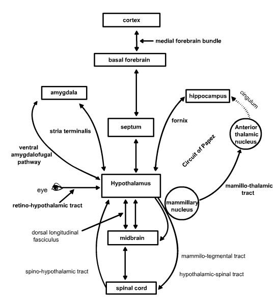 lecture-hypothalamus6