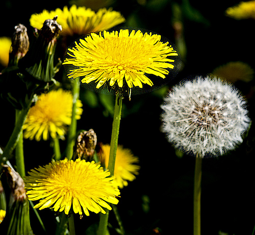Dandelion Root Causes Cancer Cell Suicide