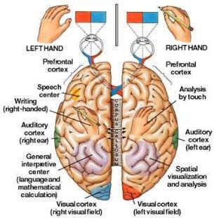 Brain_diagram_left_right-305x311
