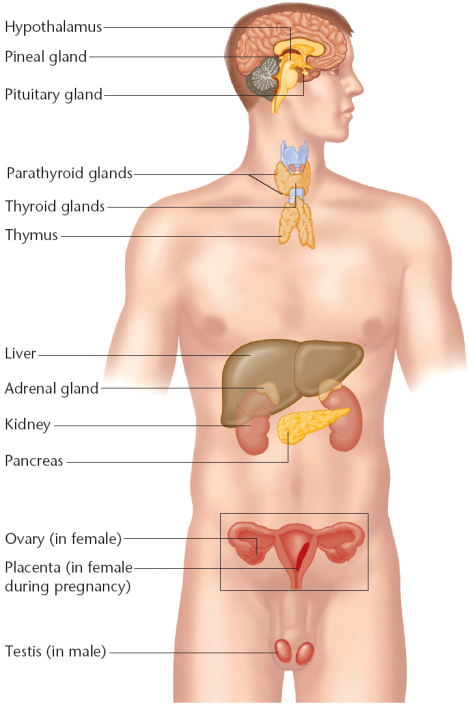 Anatomy: The Thymus Gland