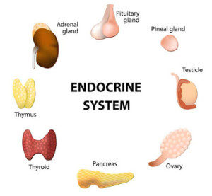 endocrine-glands-2222-300x277