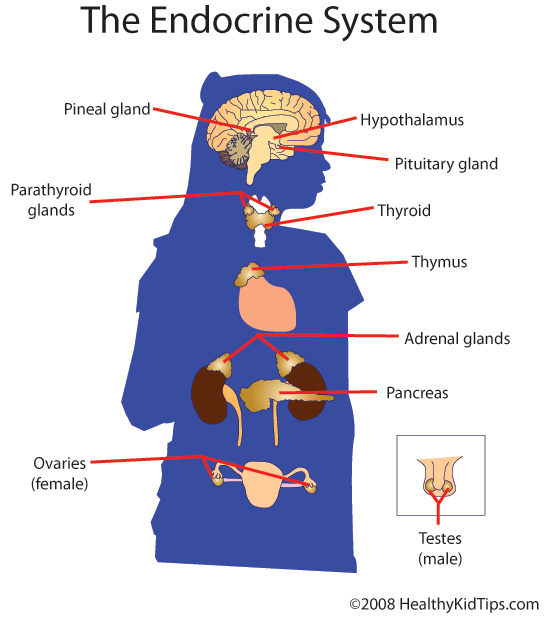 Anatomy: The Human Endocrine System
