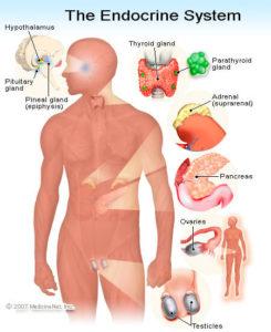 endocrine_system