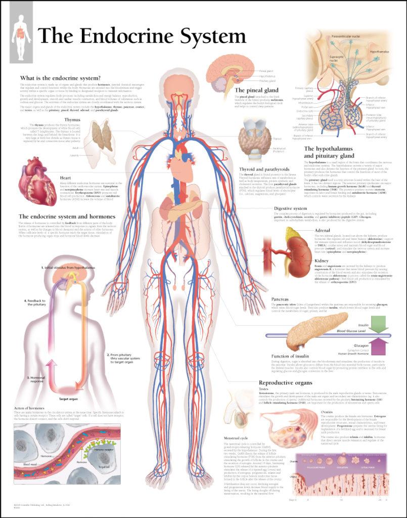 humanendocrinesystem