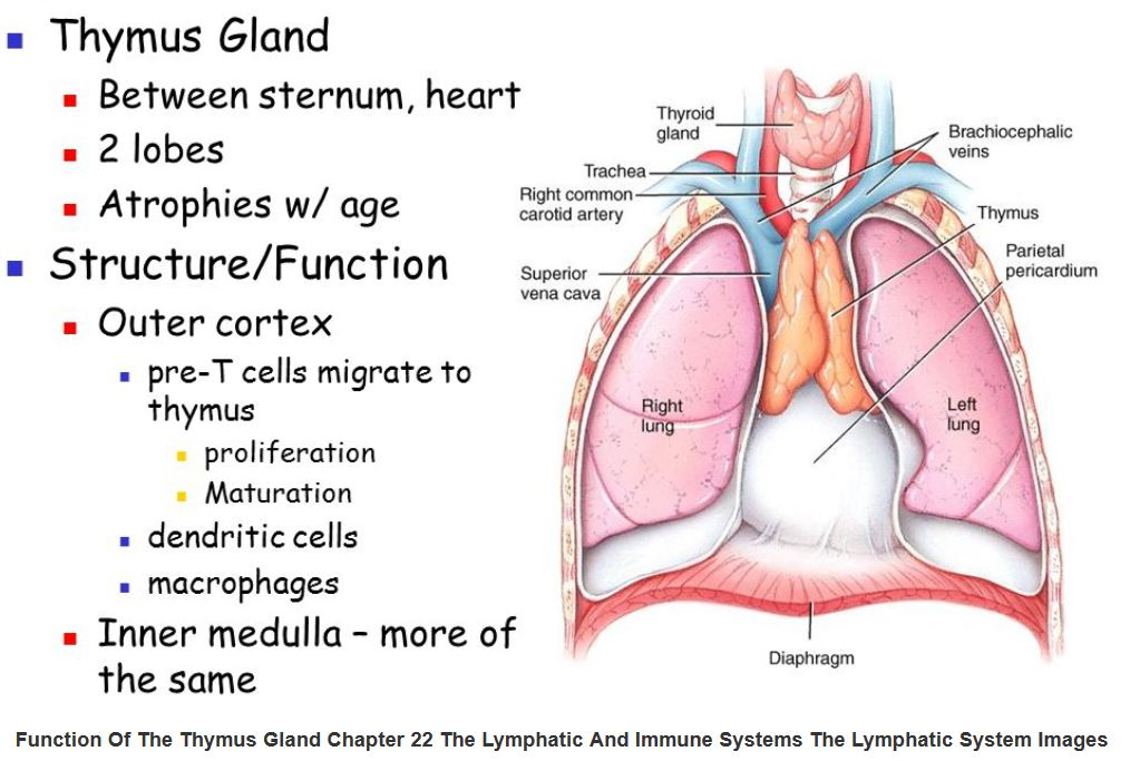 Anatomy: The Thymus Gland – Wise Mindbody Healing
