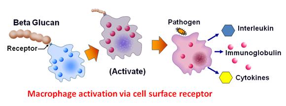 beta-glucan-mechanism