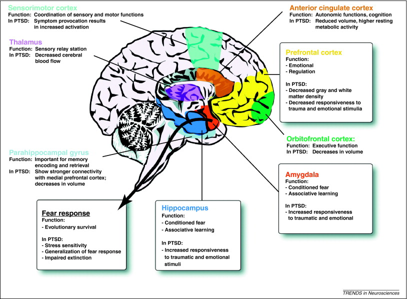 The Amygdala, Limbic Lobe, Pons, and Medulla – Introduction