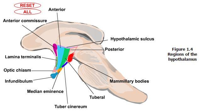 lecture-hypothalamus4