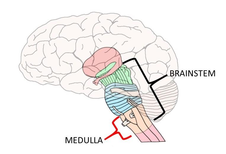 medulla-vagus-hormones-mn-ethanwisehealing